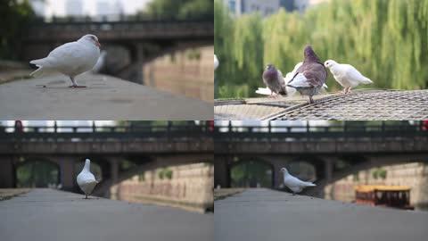 鸽子和平鸽可爱小动物