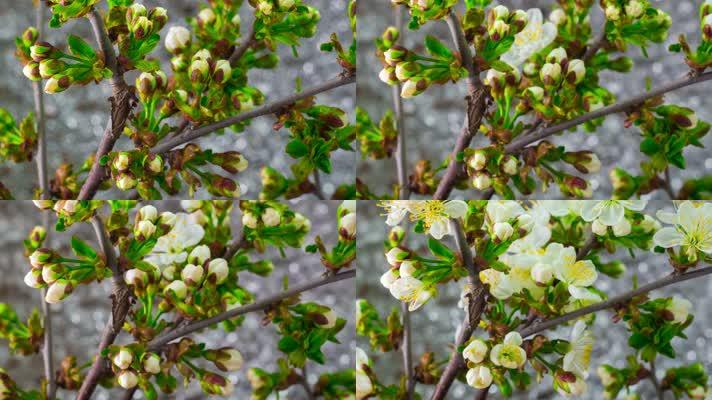 樱花 花开 开花过程 生命绽放