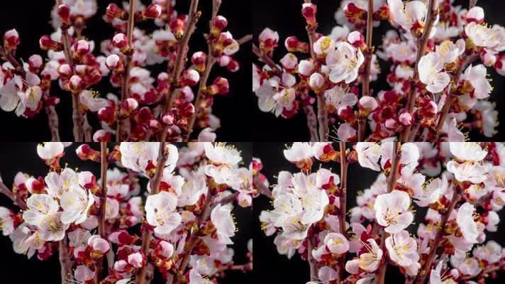 海棠盛开绽放 植物生长 开花