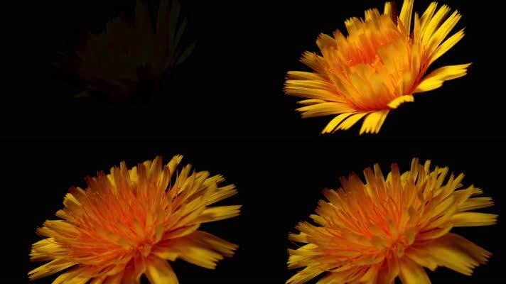 4k向日葵开花生长延时