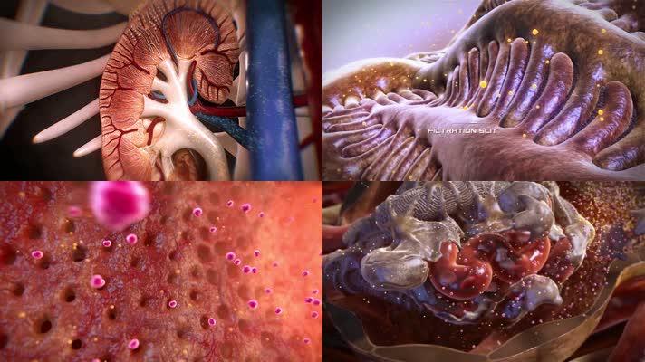 肾脏器官人体机理三维动画