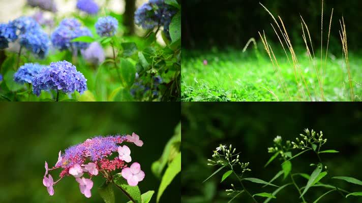 唯美花朵逆光绣球花植物清晨户外花草素材