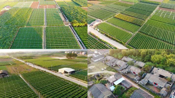 乡村农作物和村落