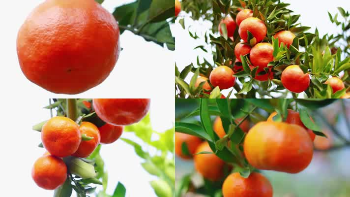 【原创】实拍农村橘子