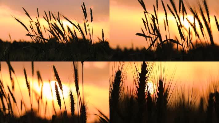 【原创】夕阳下麦浪