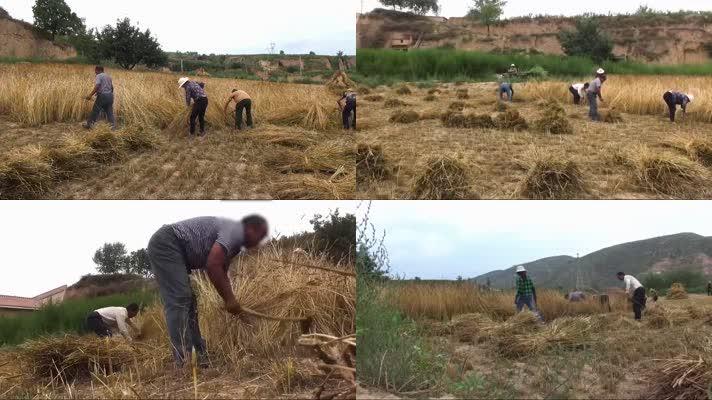 农民手工收割小麦