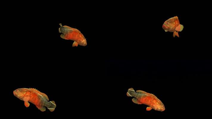 带透明通道石斑鱼
