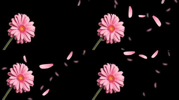 粉色花转场菊花摇曳花飘落