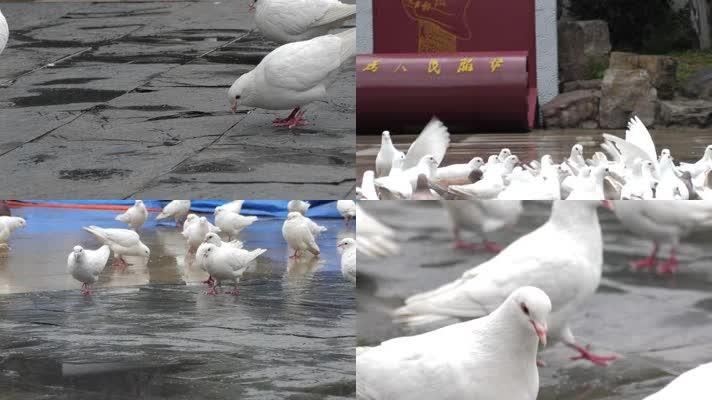 公园喂鸽子慢动作