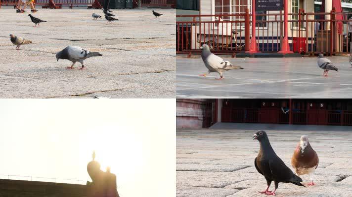 故宫午门前的鸽子实拍
