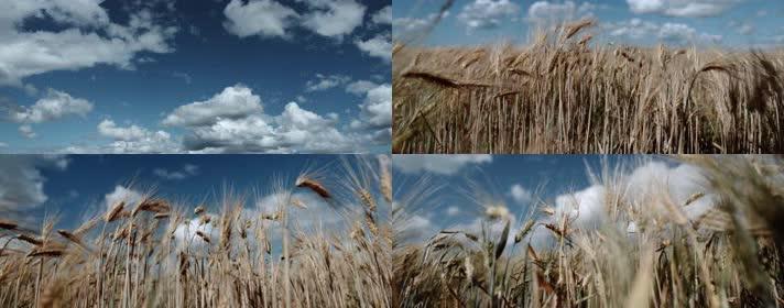 风吹麦浪,希望田野