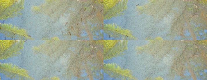 宽屏地面池塘锦鲤群